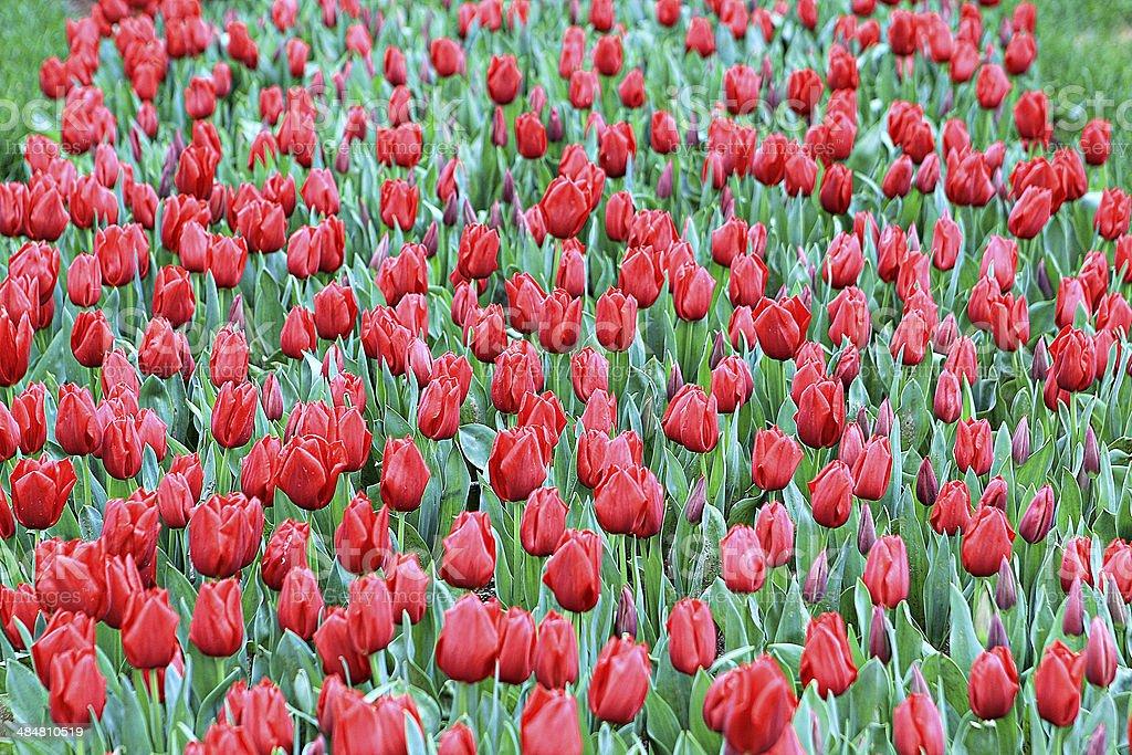 Tulips 10 stock photo