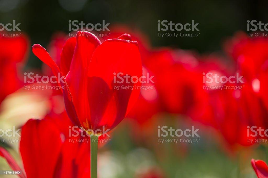 Tulips - 2 stock photo