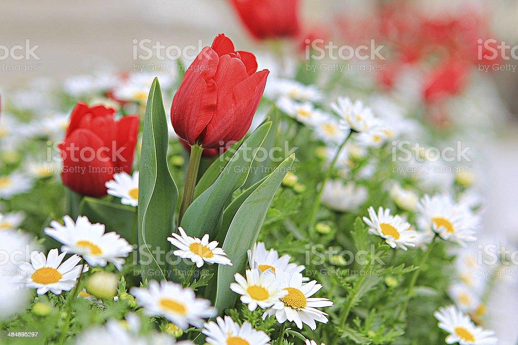 Tulips 20 stock photo