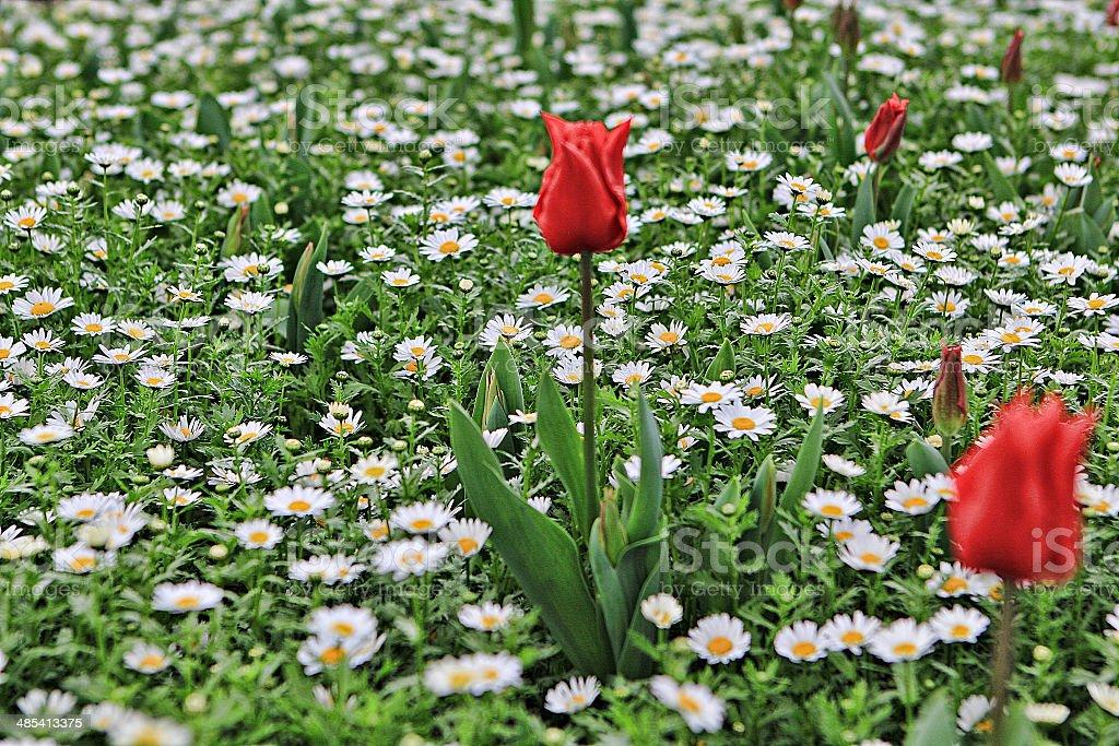 tulips 24 stock photo
