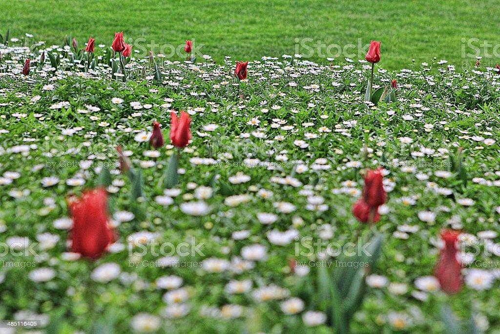 tulips 27 stock photo