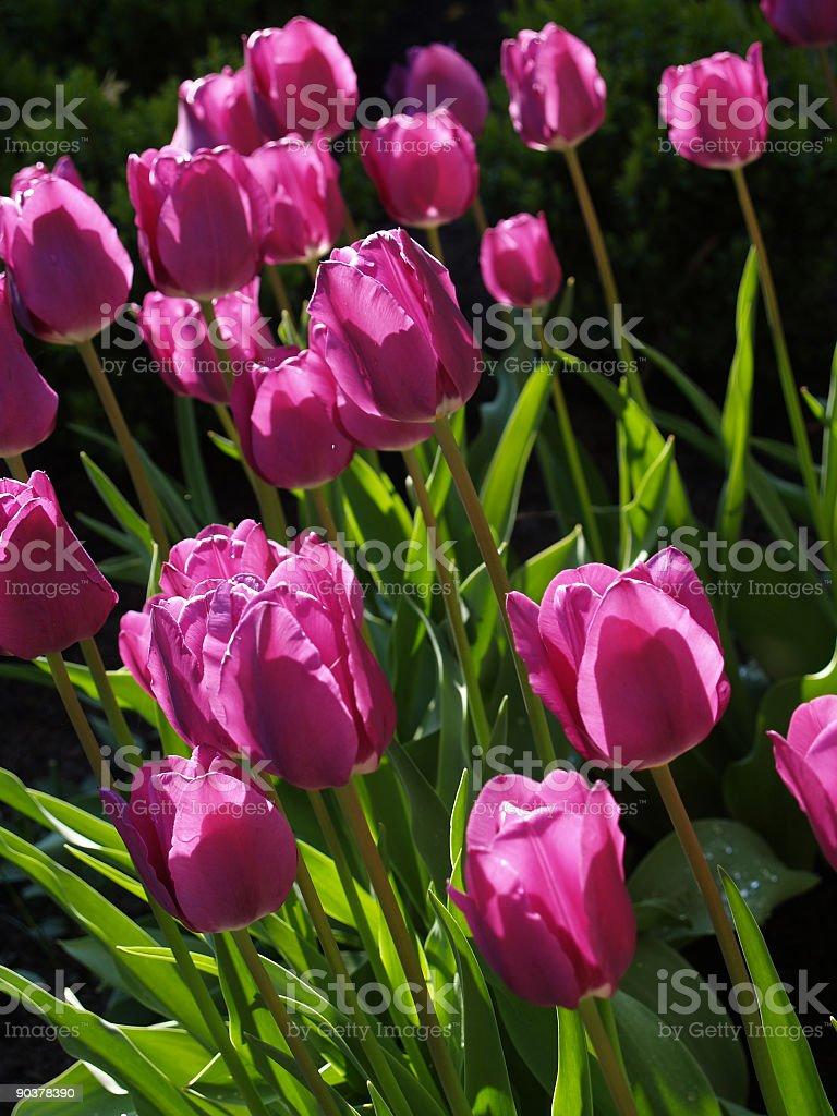 tulips 3 royalty-free stock photo