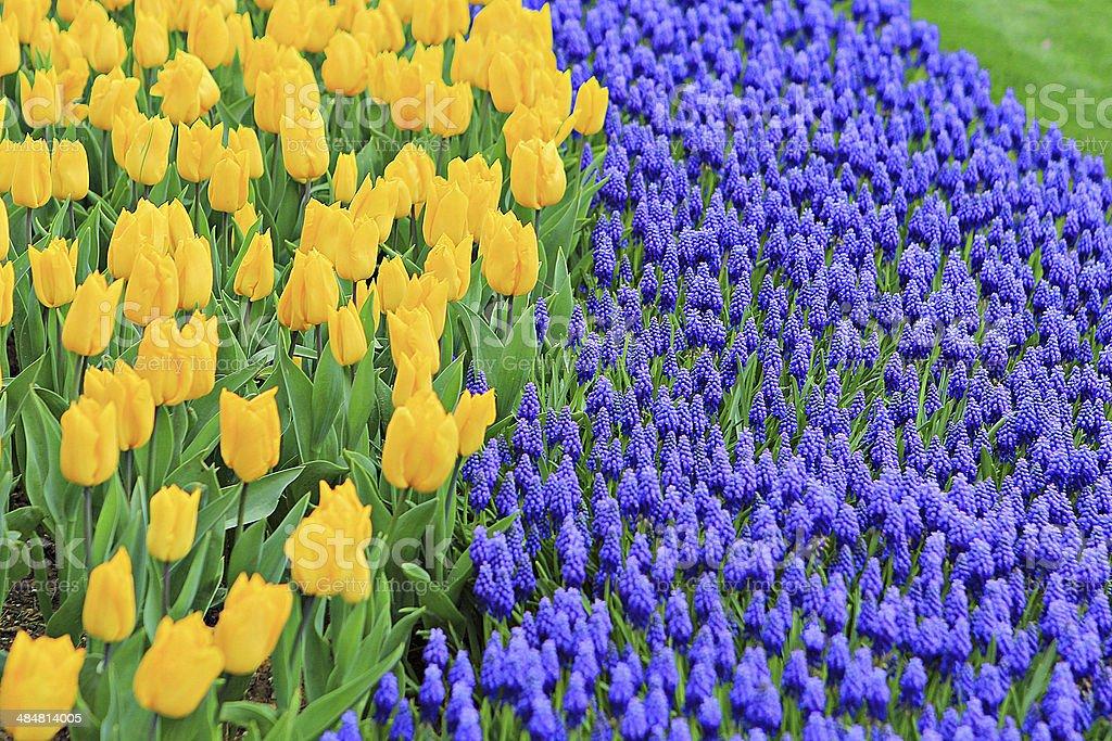Tulips 5 stock photo
