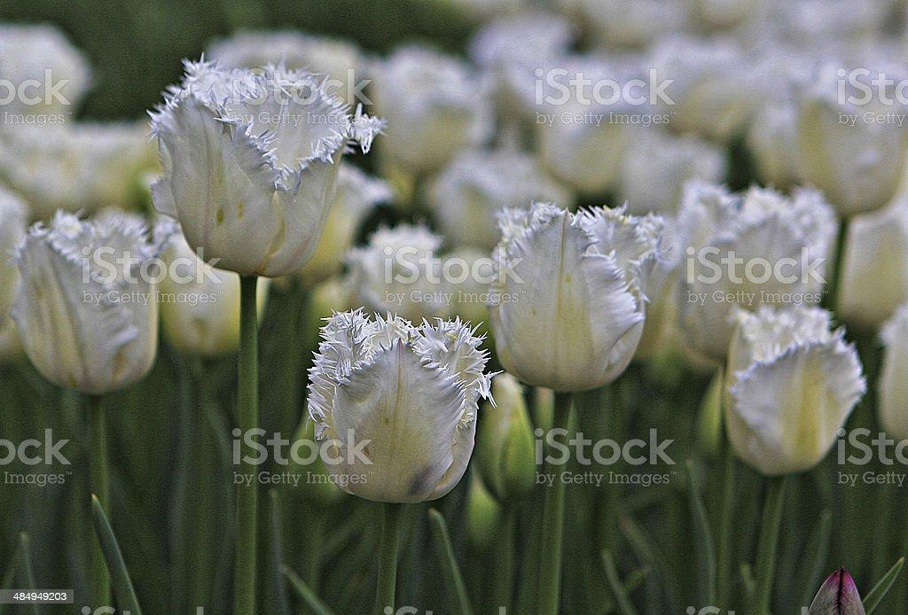 Tulips 8 stock photo