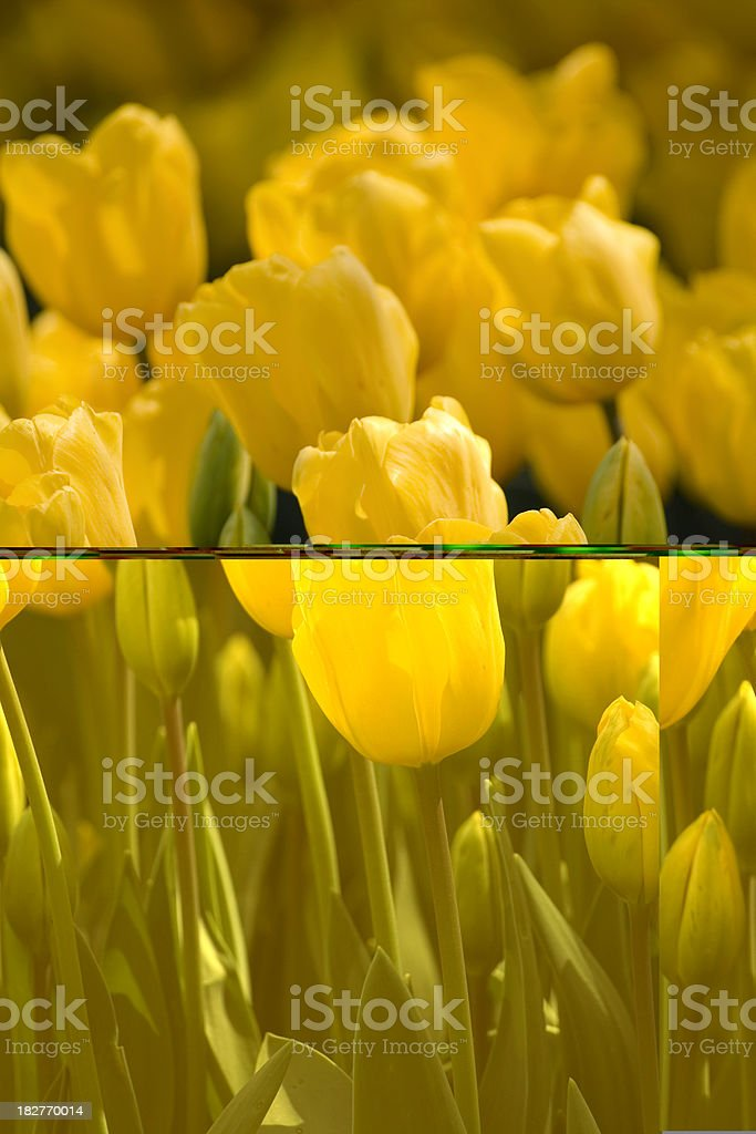 Tulips Abstraction stock photo
