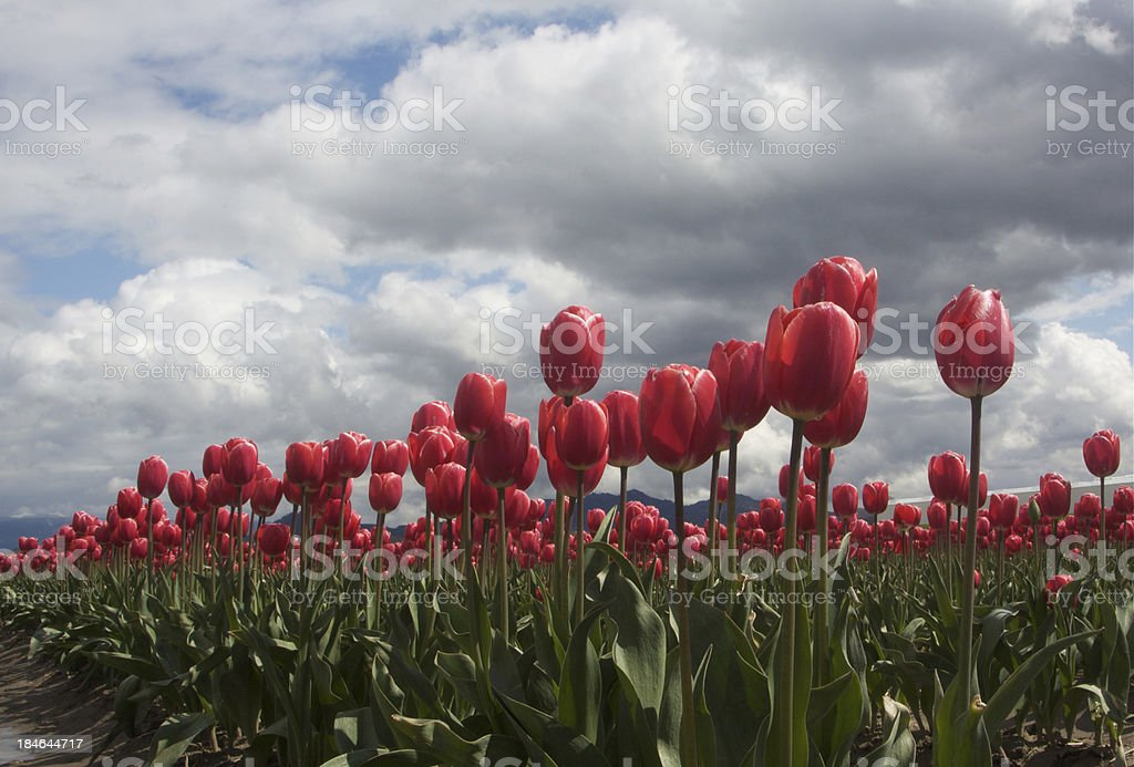 Tulips Against The Clouds stock photo