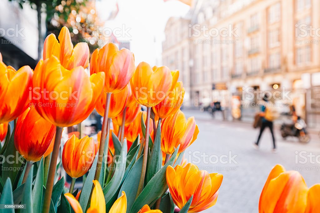 Tulips and Amsterdam stock photo