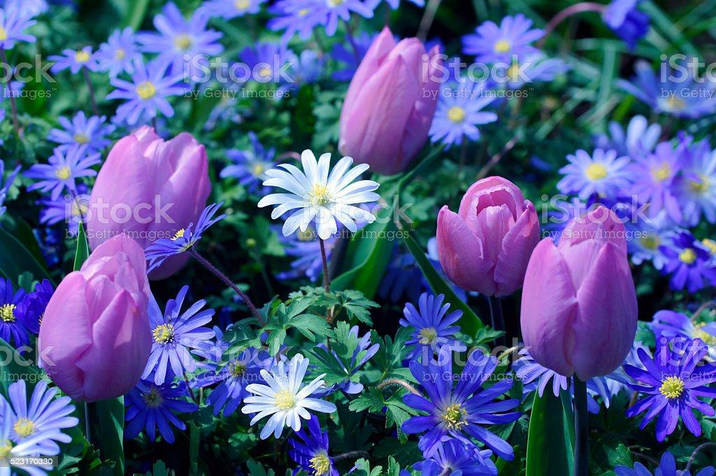 Tulips and anemones stock photo