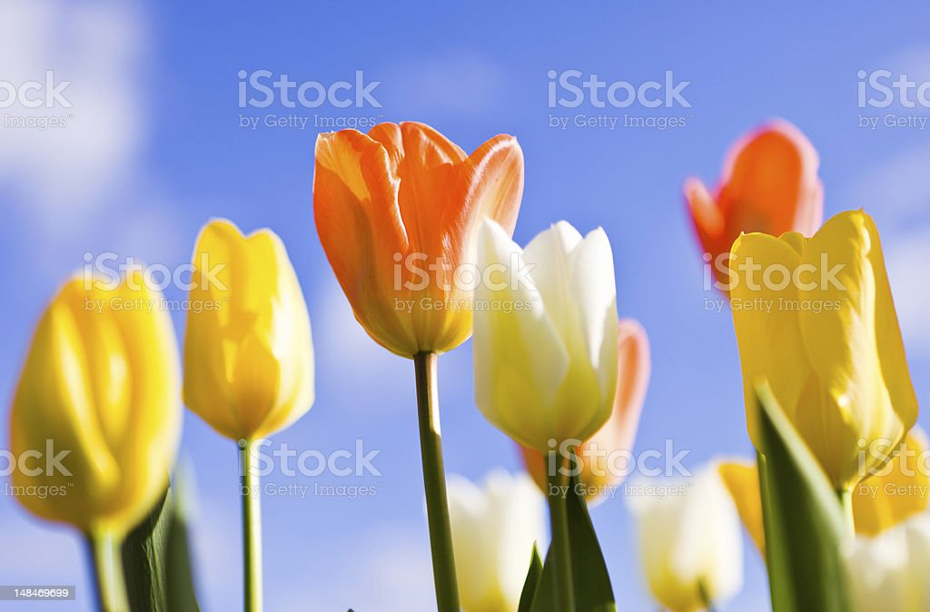 Tulips and blue sky as a background royalty-free stock photo