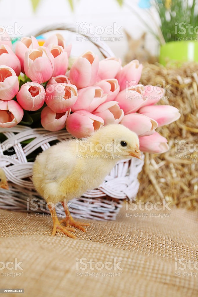 tulips and chicken stock photo