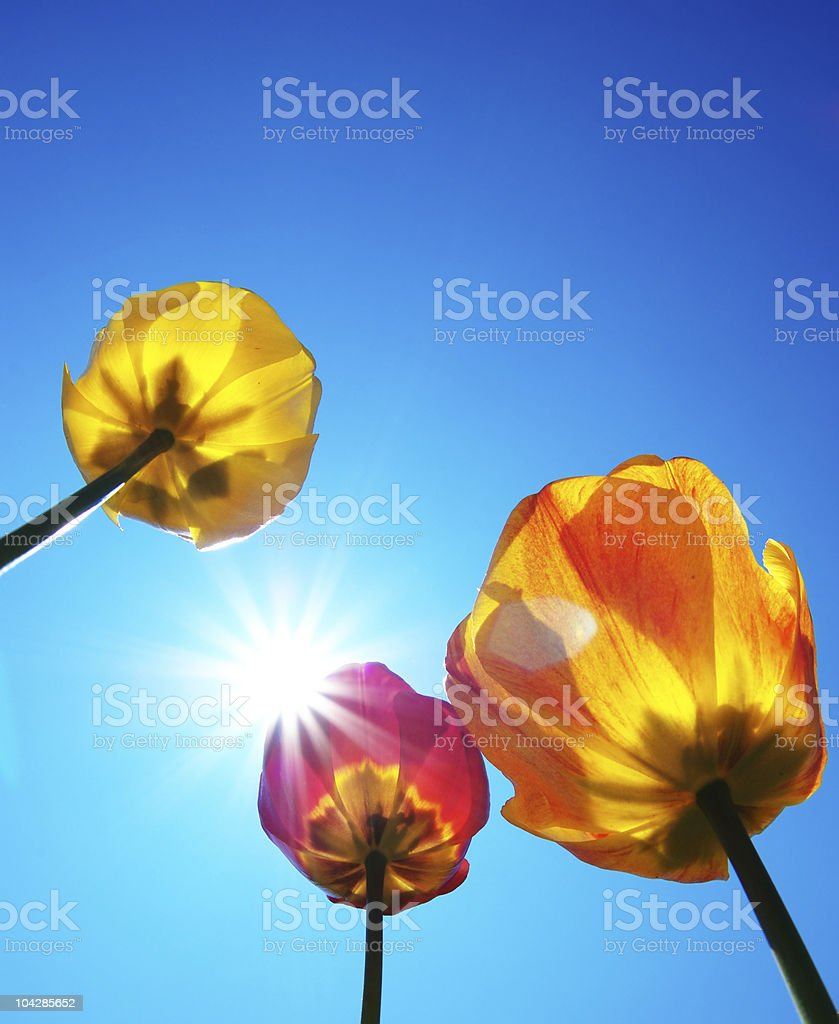 Tulips and clear sky royalty-free stock photo