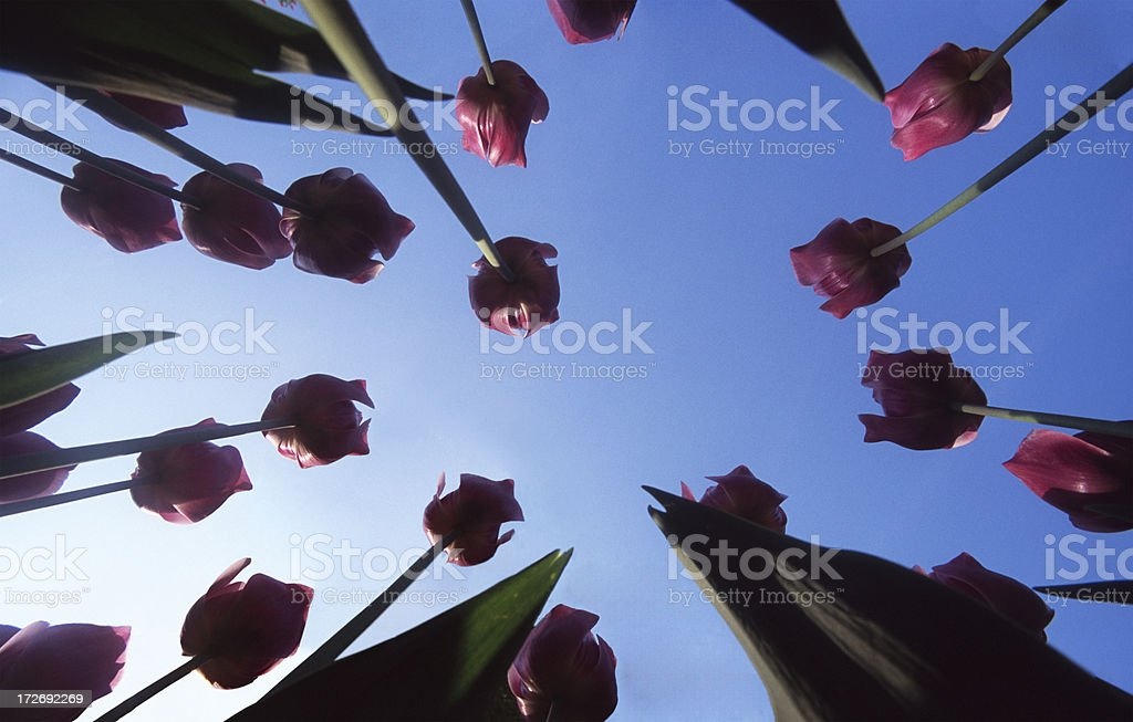 Tulips and clear sky stock photo