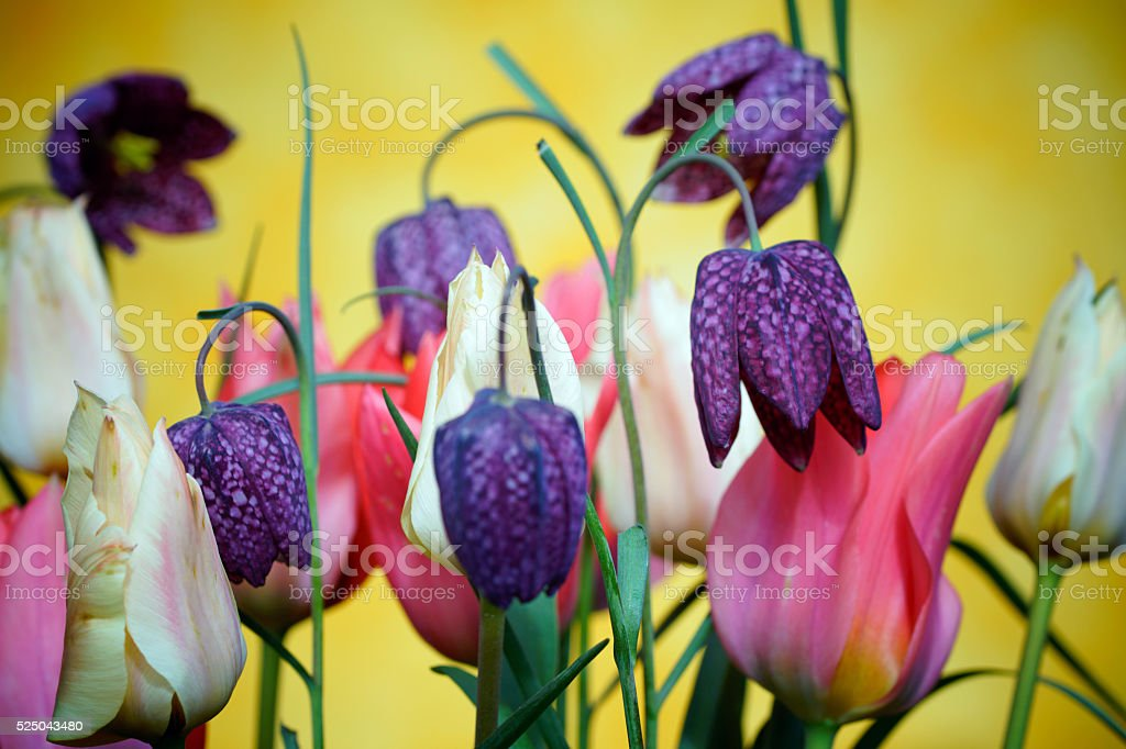 Tulips and crown imperials stock photo