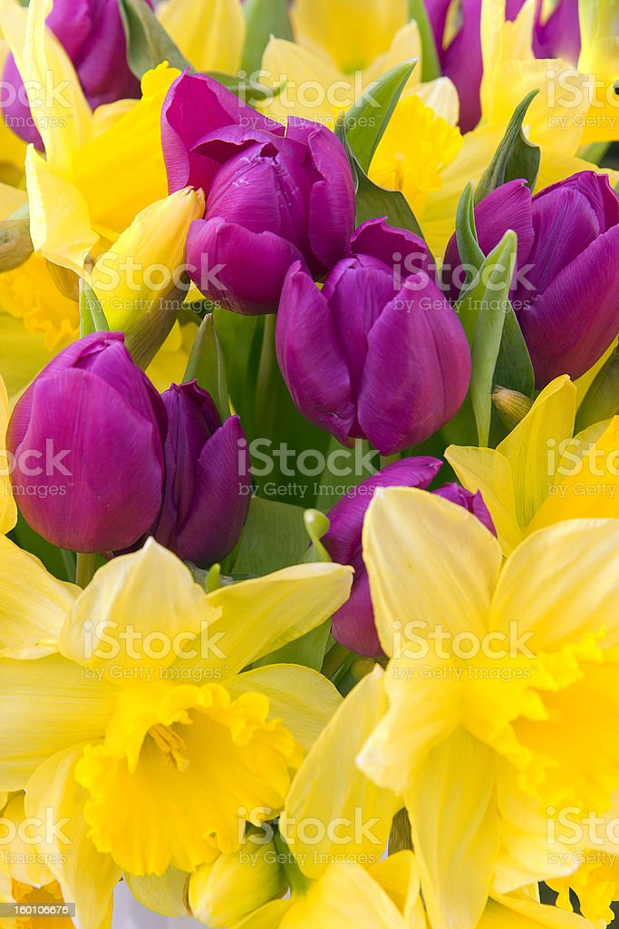 Tulips and daffodils royalty-free stock photo