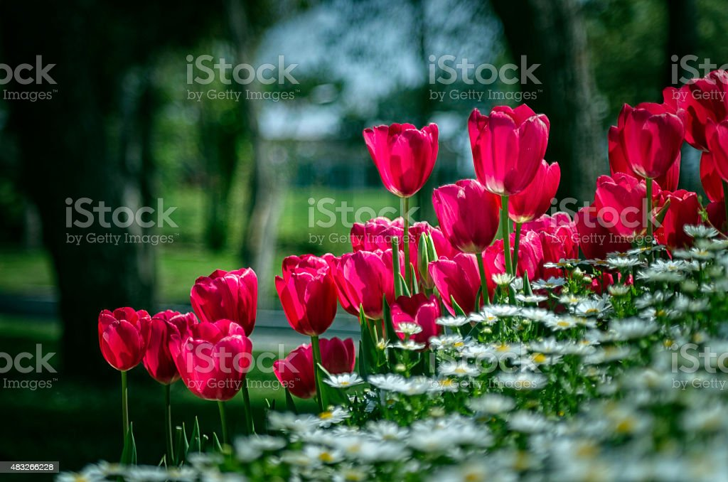Tulips and Daisies stock photo