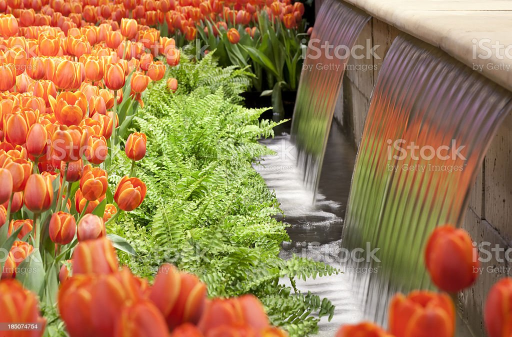 Tulips and Ferns stock photo