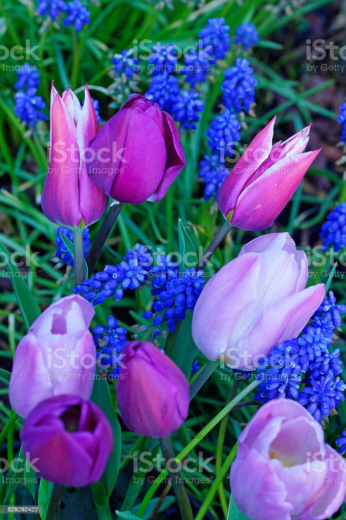 Tulips and grape hyacinths stock photo