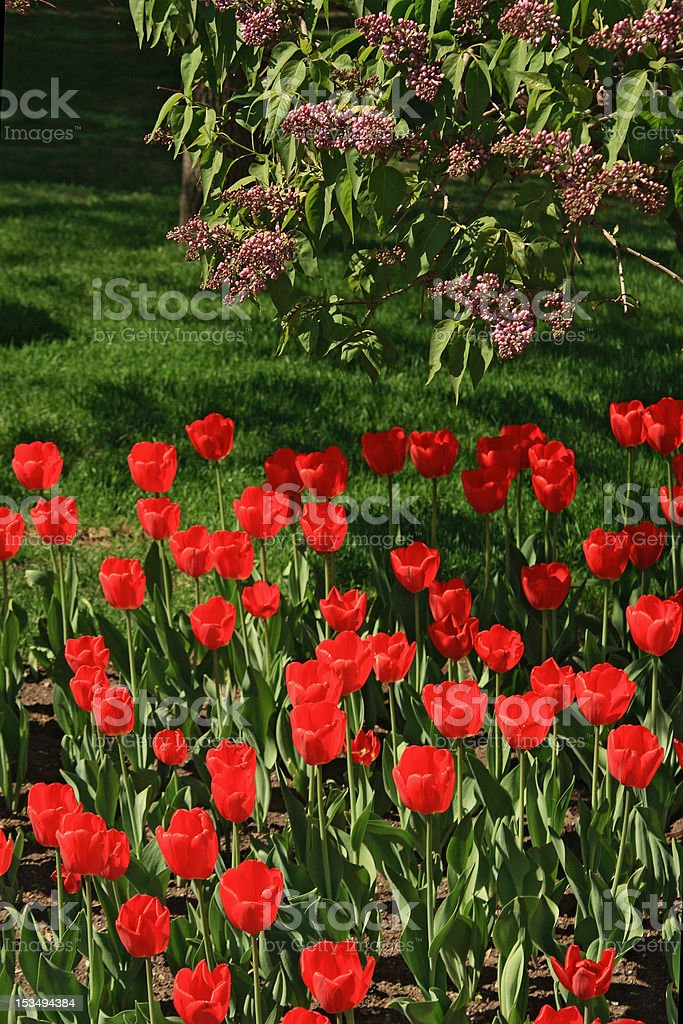 Tulips and lilac royalty-free stock photo