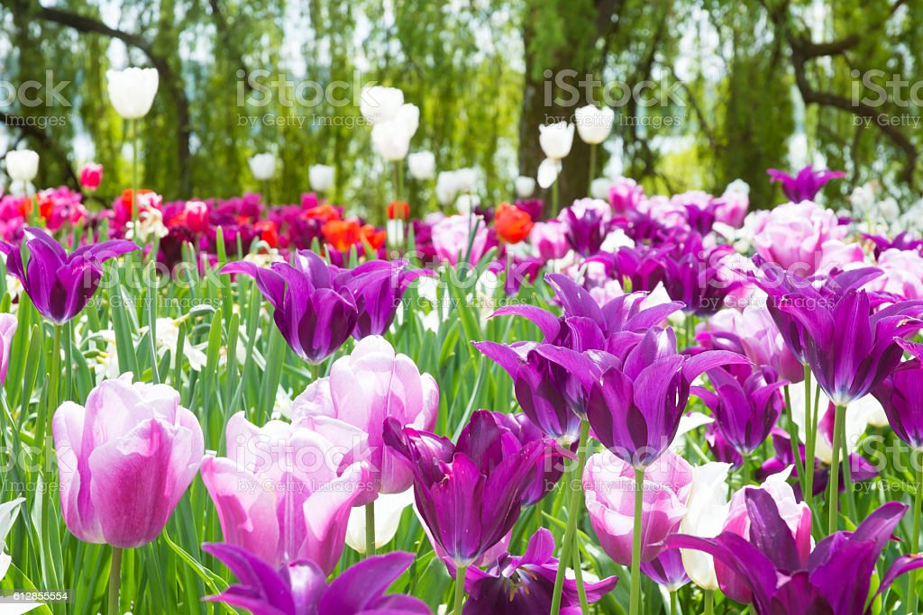 Tulips and other spring flowers stock photo