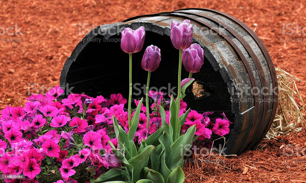 Tulips and Pansies royalty-free stock photo