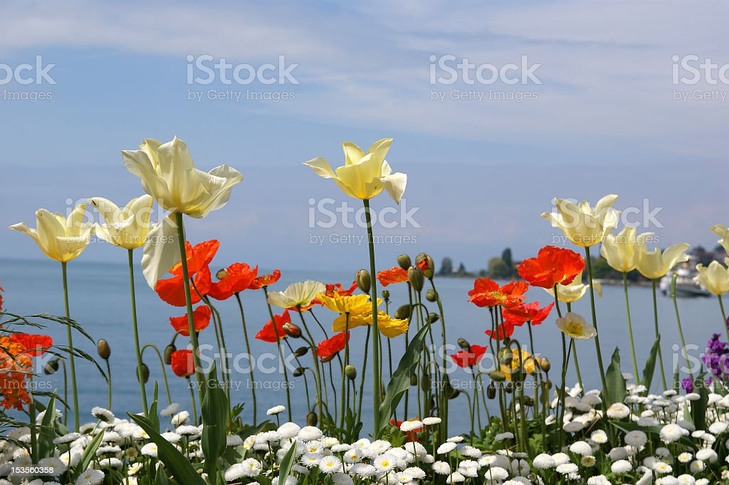 Tulips and poppies royalty-free stock photo