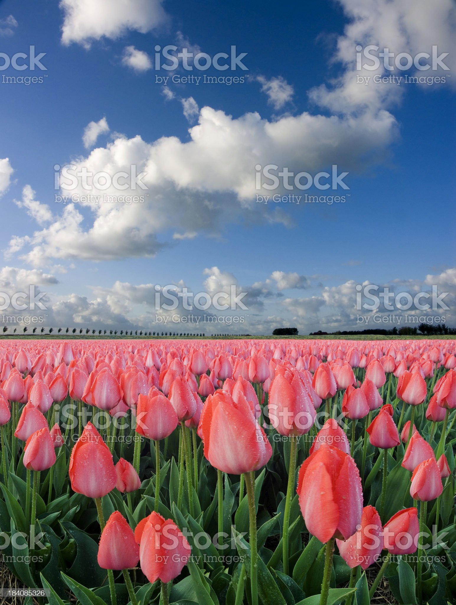 Tulips and Sky royalty-free stock photo