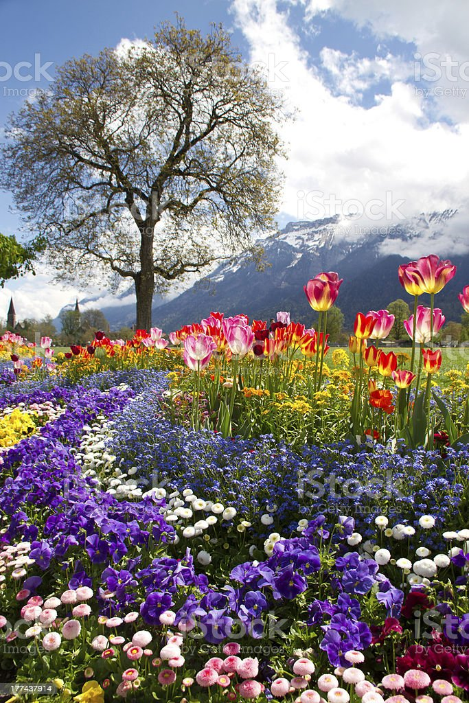 Tulips and the Swiss Alps royalty-free stock photo