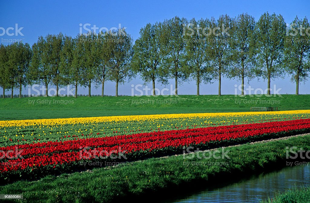 Tulips and Trees royalty-free stock photo
