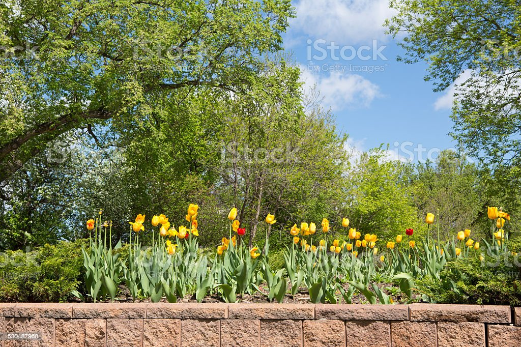 Tulips and trees Spring landscape stock photo