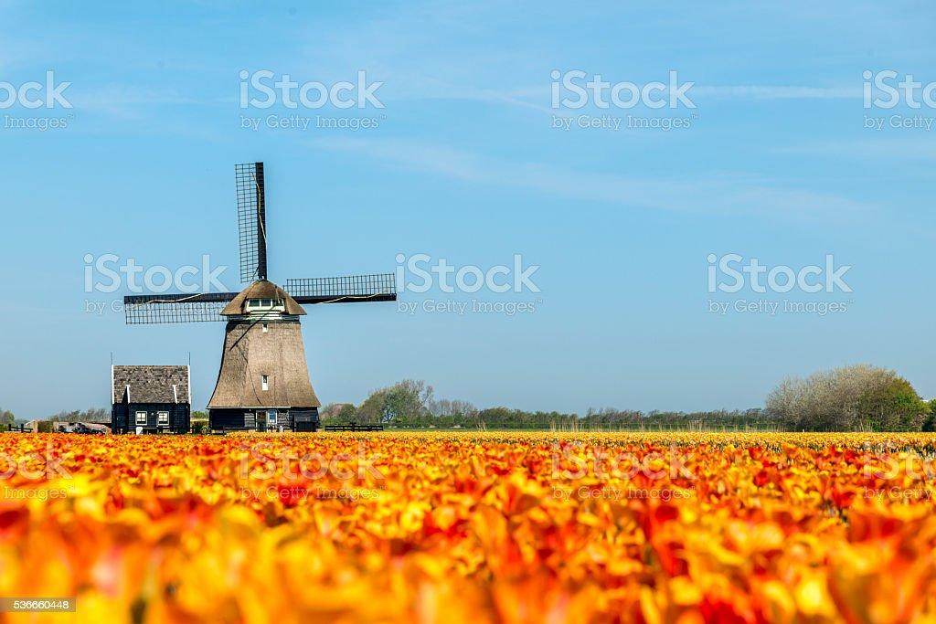Tulips and Windmill, near Schagen, the Netherlands stock photo