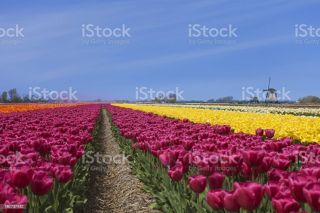 Tulips and windmill on a sunny day in The Netherlands royalty-free stock photo