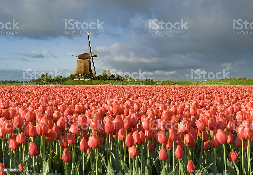Tulips and Windmill royalty-free stock photo