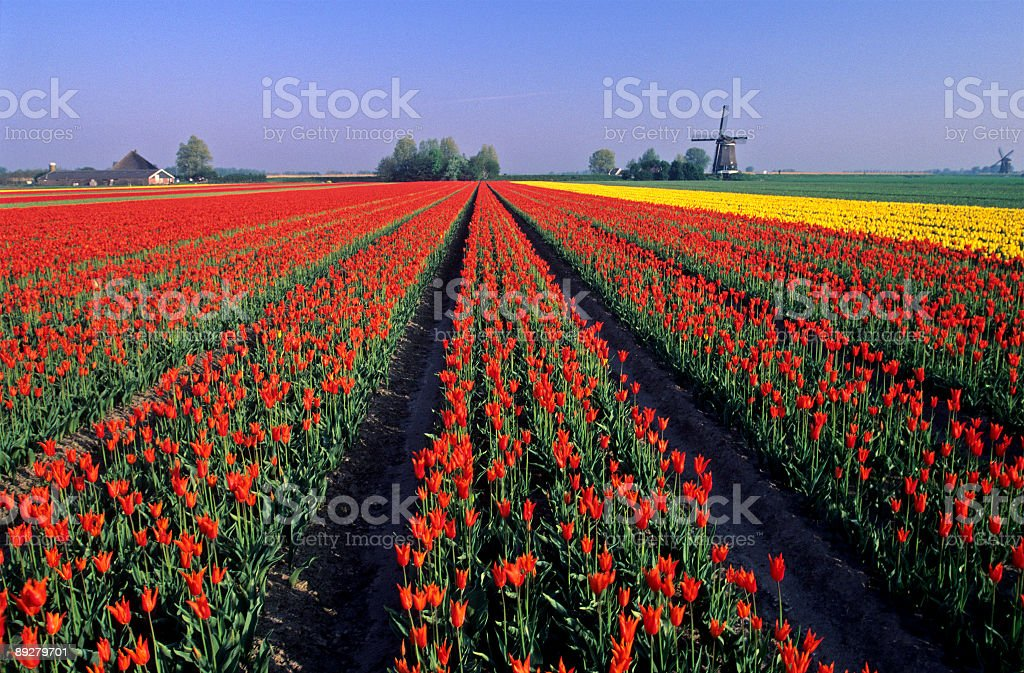 Tulips and Windmills royalty-free stock photo