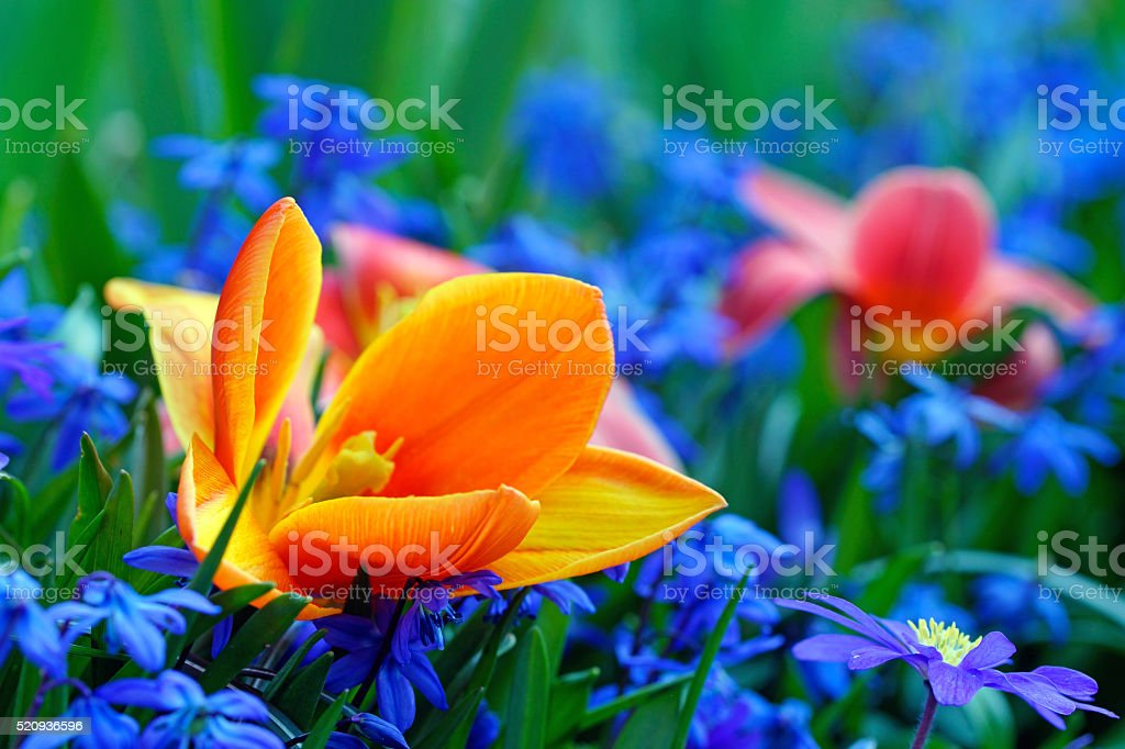 Tulips, anemones and scilla siberica stock photo