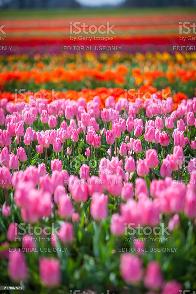 Tulips at the Wooden Shoe Tulip Festival near Portland Oregon. stock photo