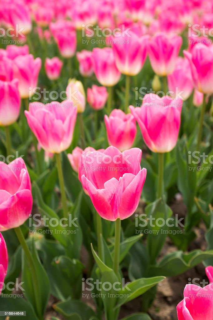 Tulips background in spring stock photo