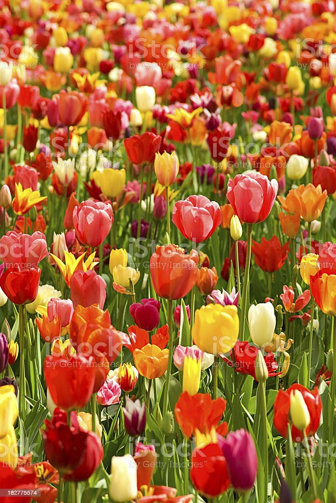 Tulips background in sunlight royalty-free stock photo
