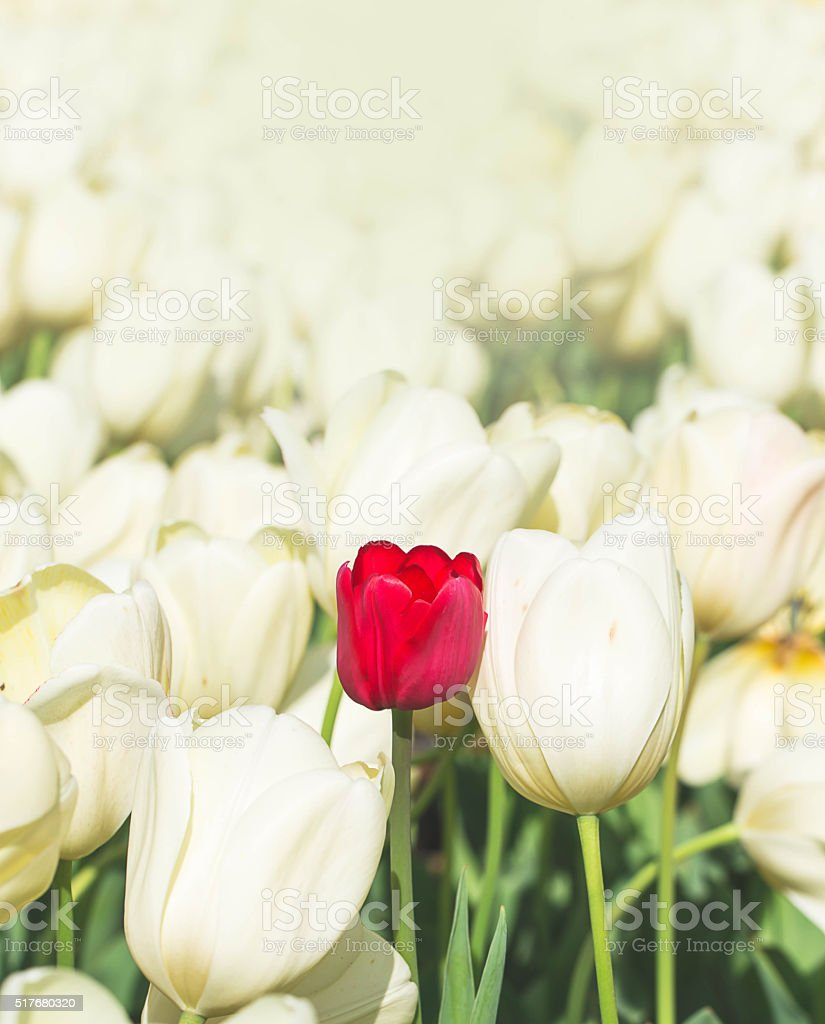 Tulips beautiful red tulips, tulips colorful tulips in the sprin stock photo
