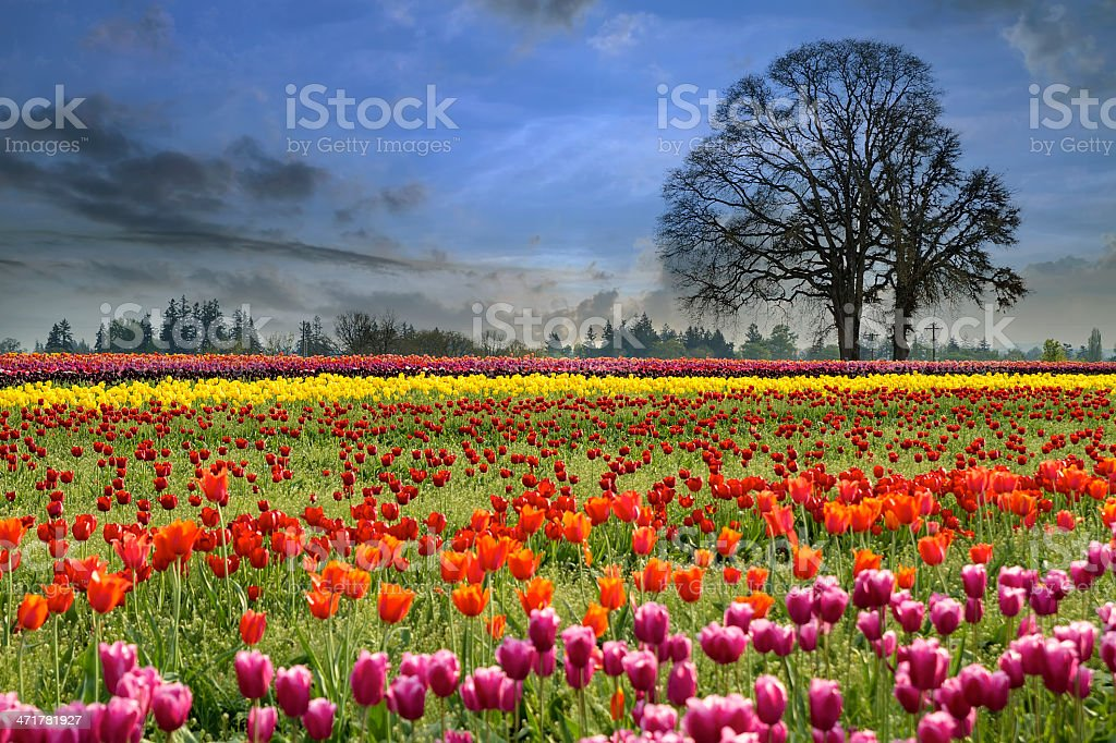 Tulips Blooming in Spring Season royalty-free stock photo