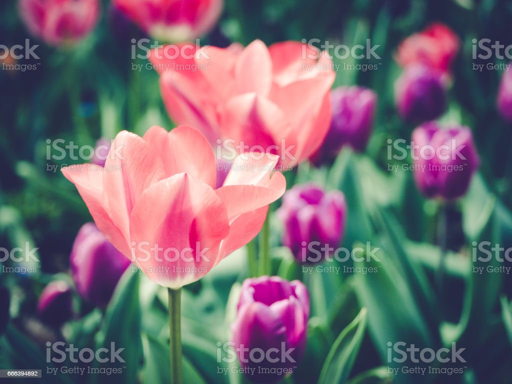 Tulips blossom close up, nature in springtime stock photo