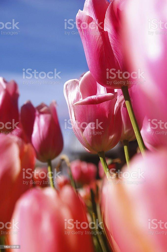 tulips closeup royalty-free stock photo