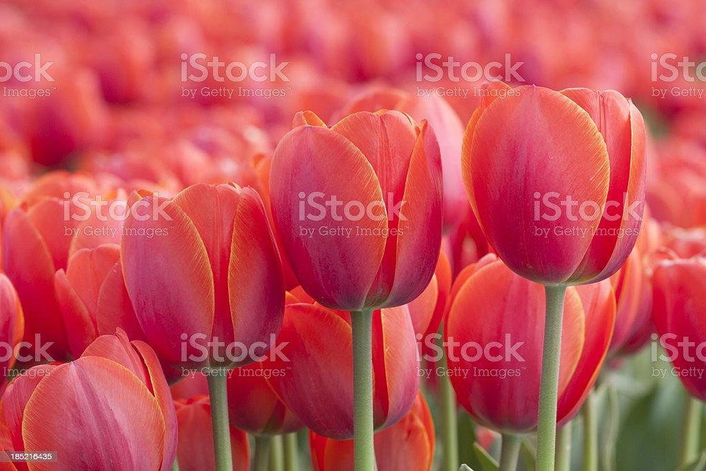 Tulips Close-up royalty-free stock photo