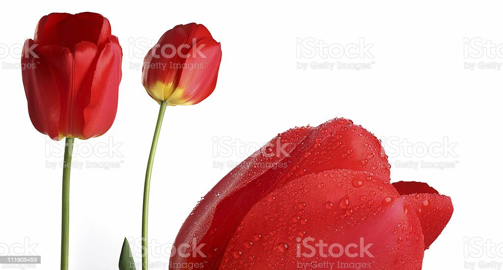 tulips, dew stock photo