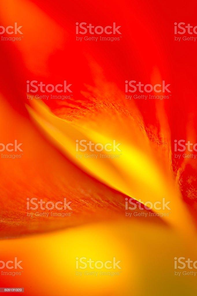 Tulip's Flame stock photo