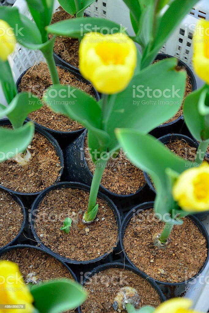 Tulips flower in field, flower of agriculture royalty-free stock photo