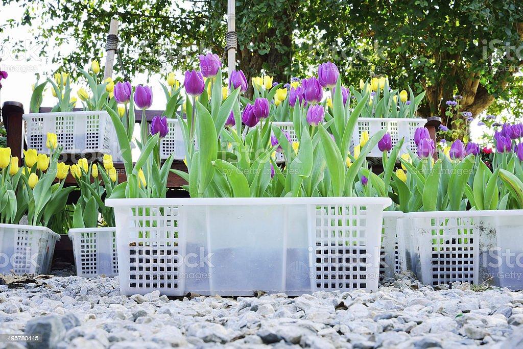 Tulips flower in field royalty-free stock photo