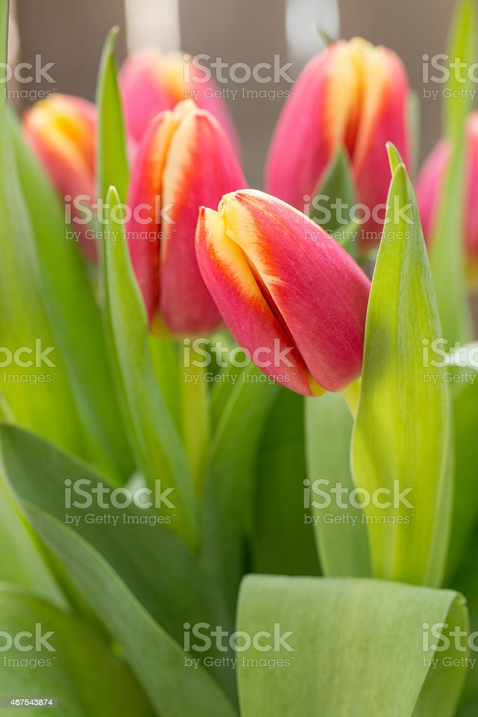 Tulips Flowers For Spring stock photo