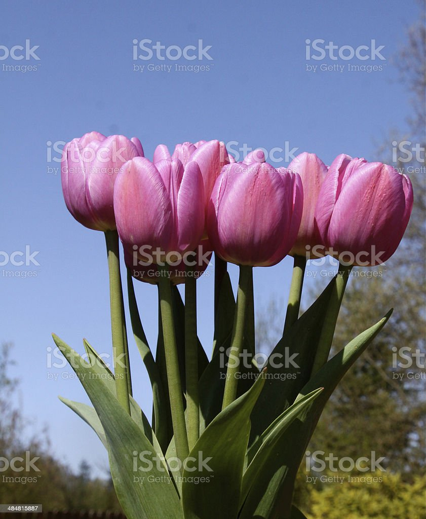 Tulips From A Low Perspective royalty-free stock photo