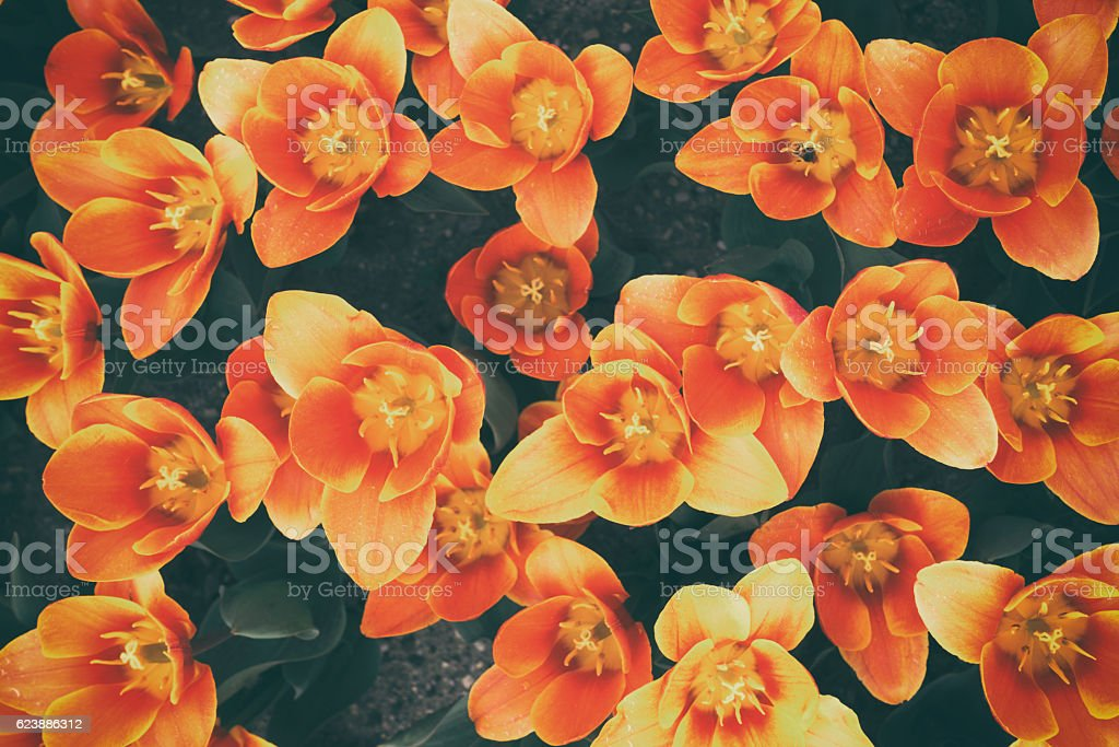 Tulips from above stock photo