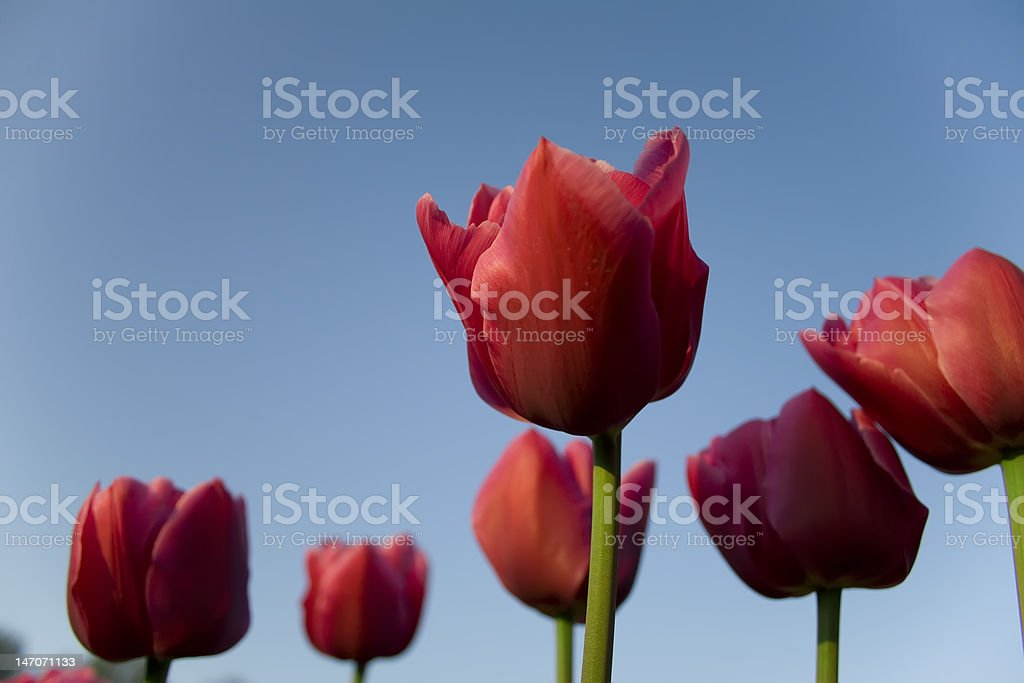 tulips from holland bottom up royalty-free stock photo